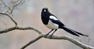 Be more magpie
